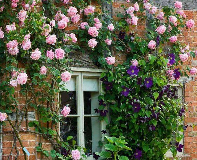 Почему не растет куст розы после посадки и пересадки