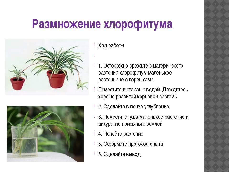 Полисциас Фабиан: условия выращивания и варианты ухода в домашних условиях