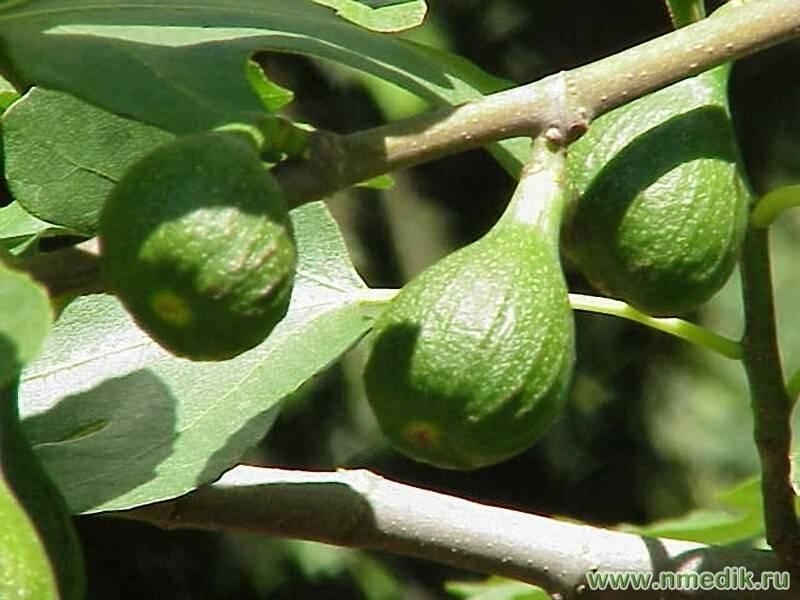 Фиговое дерево — как посадить в саду