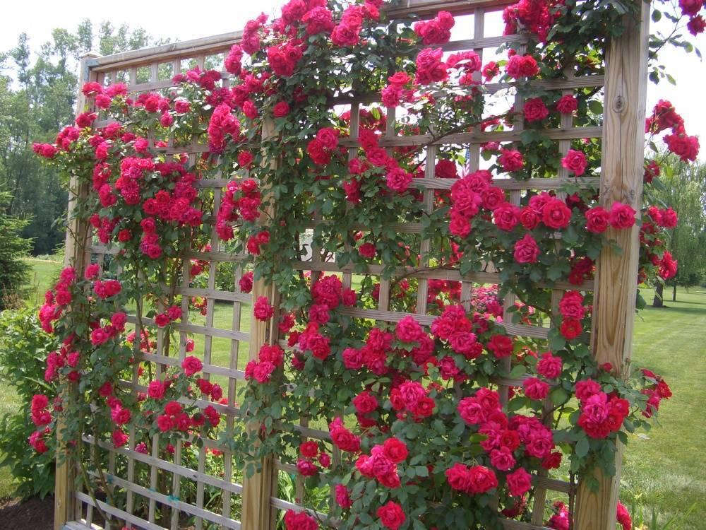 Белые плетистые розы (33 фото): названия и описание сортов, особенности роз «блан мейдиланд» и «кокарда», «айсберг» и других, возможные болезни и вредители
