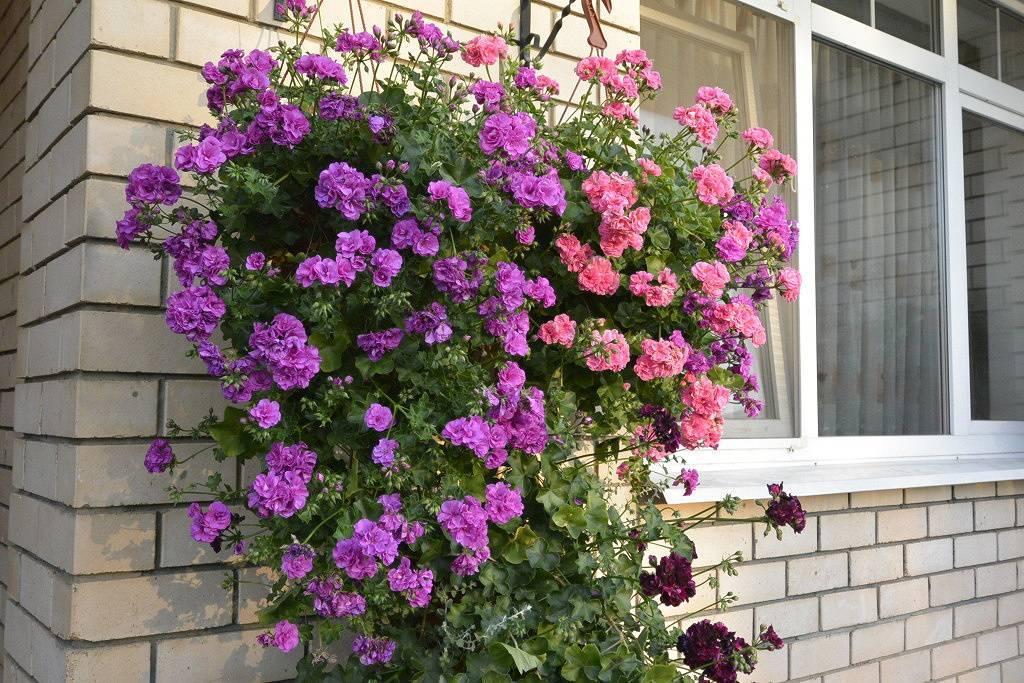 Герань плющелистная: как выглядит на фото, популярные сорта, как правильно ухаживать за цветком, размножение семенами и черенками, особенности выращивания