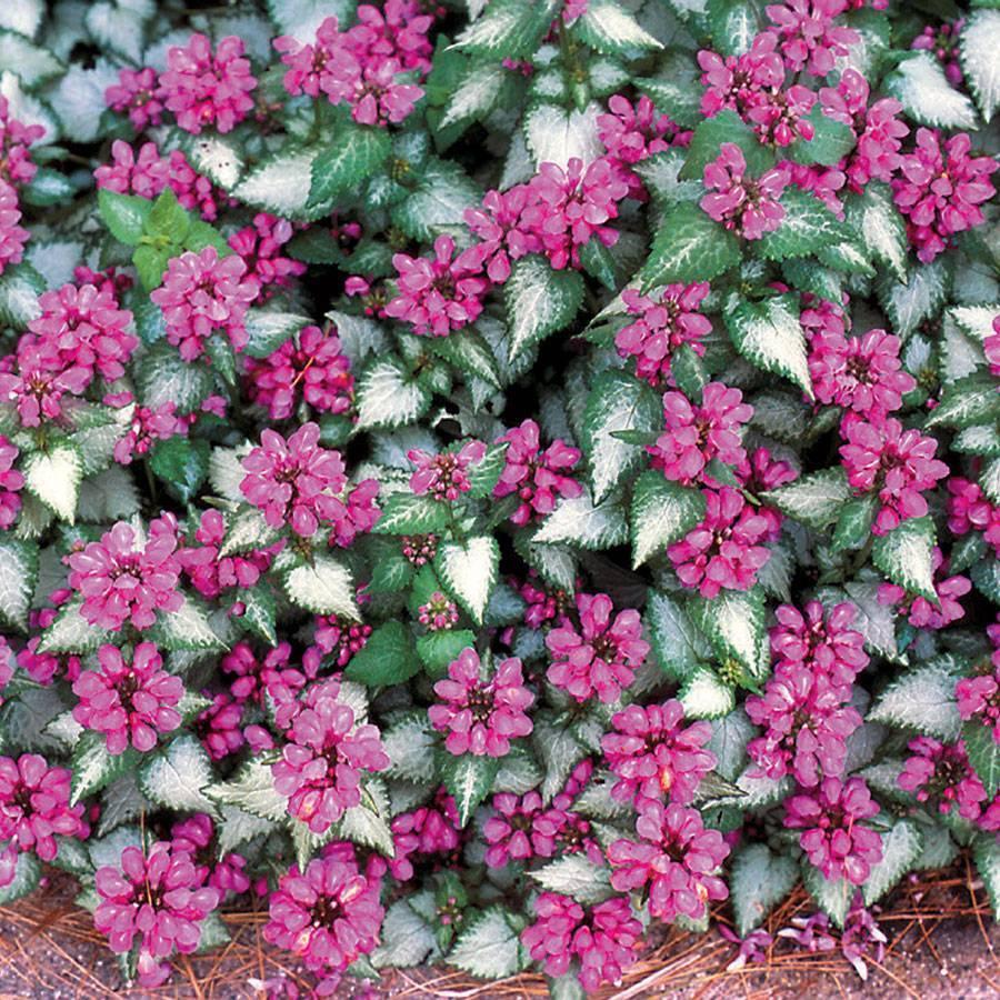 Ботаническое описание яснотки белой (обыкновенная, полевая): формула цветка