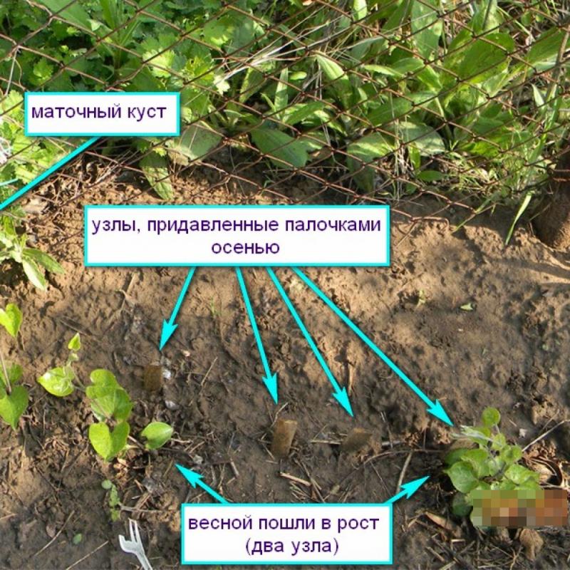 Монарда: посадка в открытом грунте, уход и выращивание растения