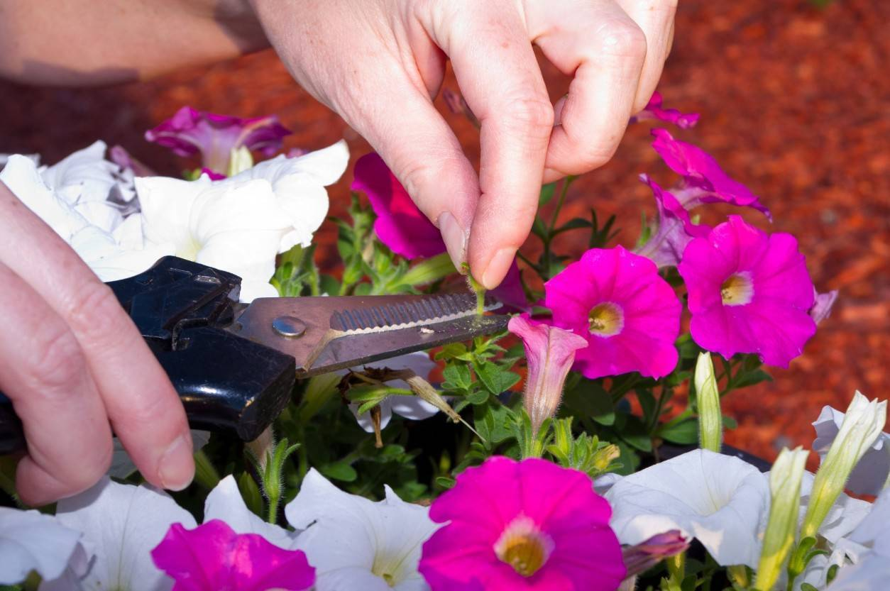 Как проводится прищипка петунии в домашних условиях?