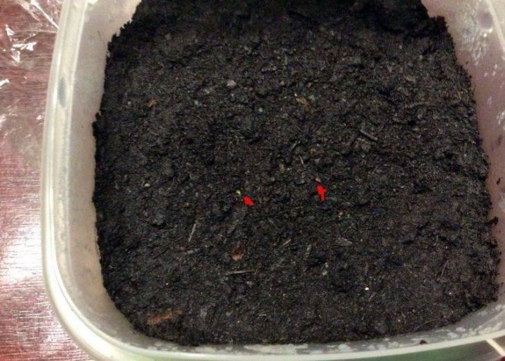 Примула садовая многолетняя. выращивание примулы из семян в домашних условиях. | красивый дом и сад