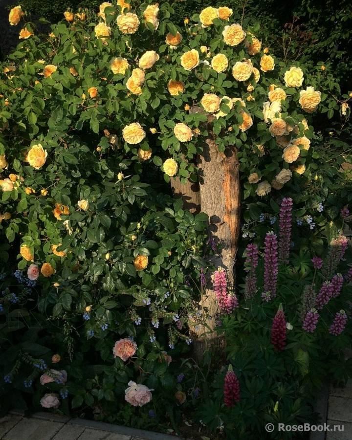 Плетистые розы: уход и выращивание