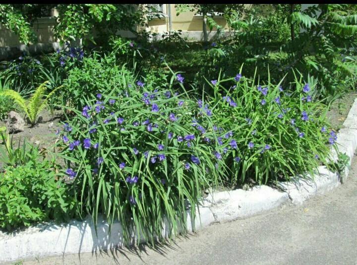 Традесканция садовая — выращивание в открытом грунте
