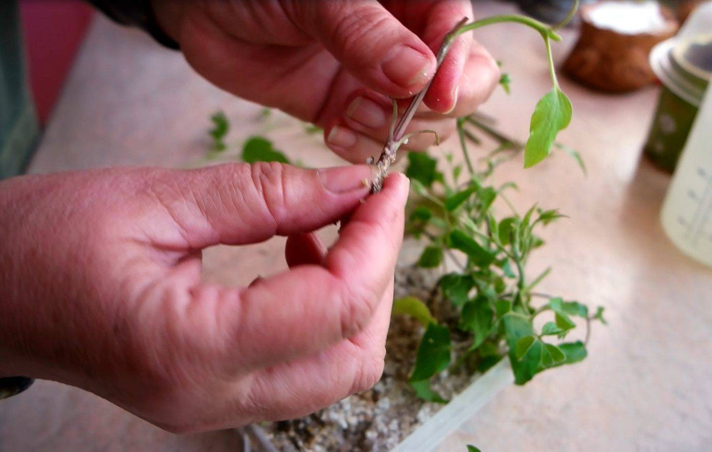 Размножение клематиса черенками: сроки и основные правила