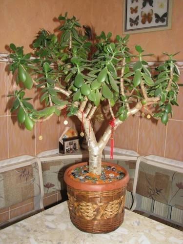 Почему опадают листья у толстянки денежного дерева