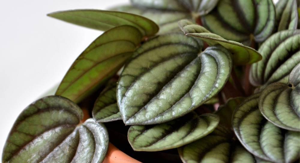 Пеперомия арбузная — уход в домашних условиях