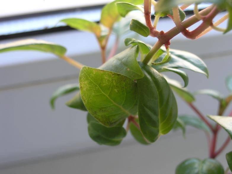 Почему у фуксии скручиваются листья во внутрь — что делать