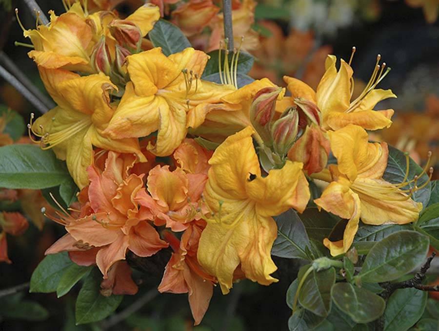 Чем азалия отличается от рододендрона: одно и то же это или нет, как ещё называется похожий цветок, в чем разница с гарденией, а также фото растений
