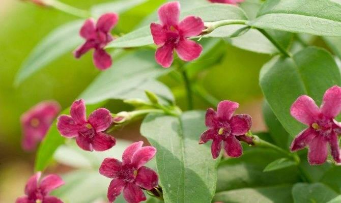 Особенности выращивания комнатного жасмина в домашних условиях и уход за цветком