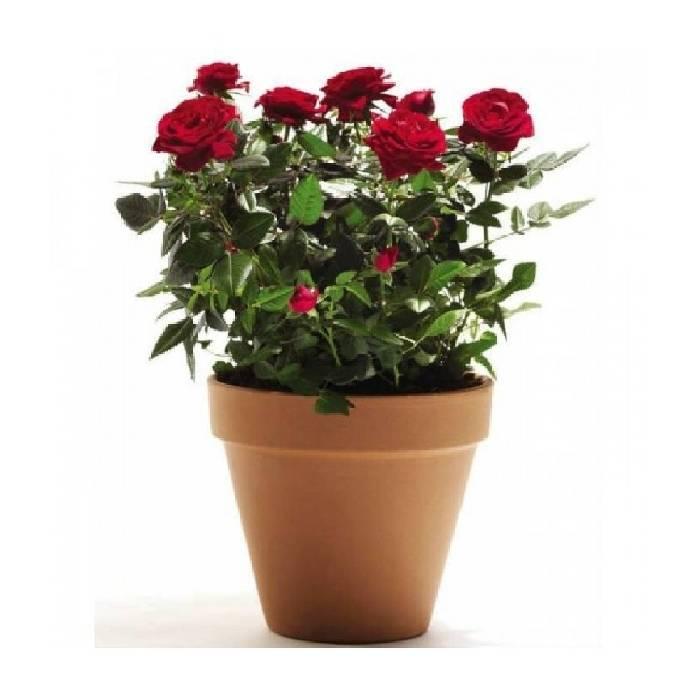 Может ли роза переродиться в шиповник: что делать если превращается, как вернуть