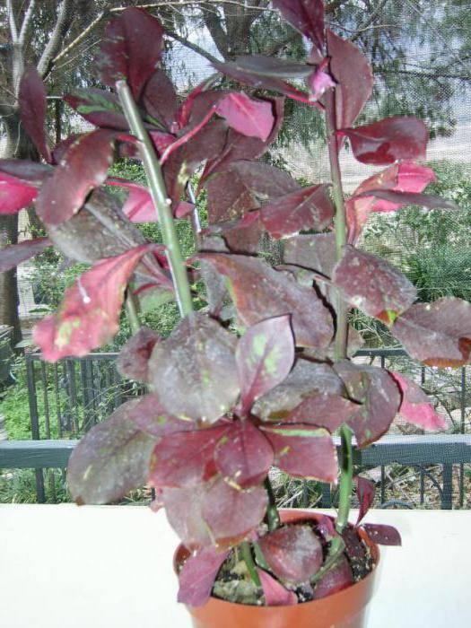 Условия ухода за нертерой дома: почва, полив, влажность и другие особенности