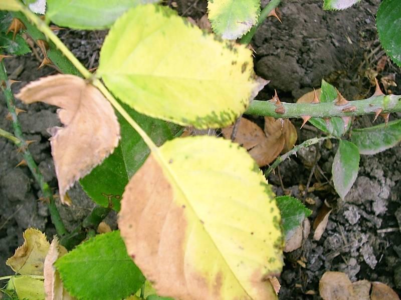 У розы опали листья: почему и что при этом делать, правильный уход за розами, фото