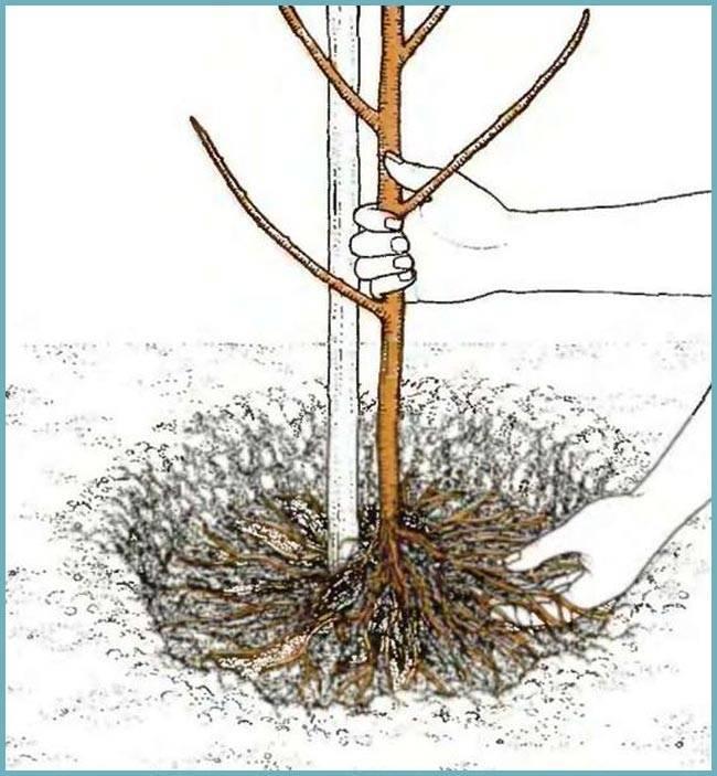 Как вырастить инжир в средней полосе и получить с него урожай