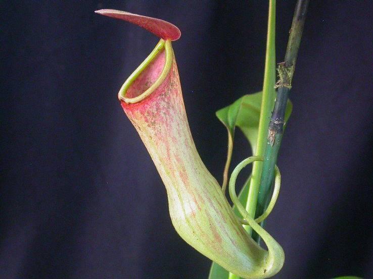 Непентес: уход в домашних условиях, фото и описание хищного растения
