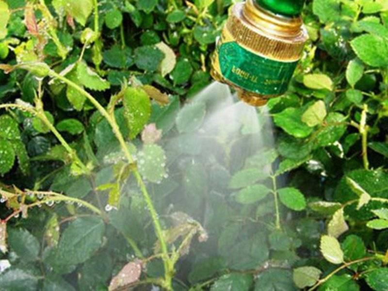 Чем опрыскивать розы от вредителей — рецепты эффективных средств