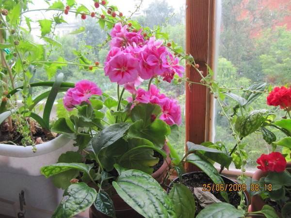 Уход за гвоздикой комнатной многолетней, выращивание из семян в горшке