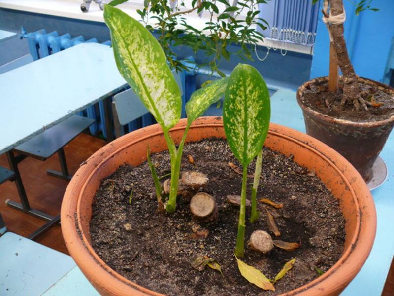 Диффенбахия прелестная: выращивание, размножение, уход в домашних условиях и фото
