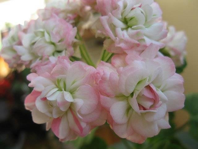 Описание розебудных пеларгоний ингрид гриксбо и квин ингрид, уход за ними дома