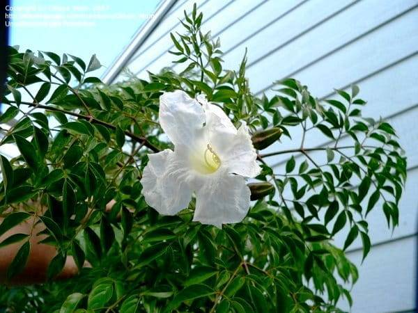 Условия выращивания броваллии и уход в домашних условиях, варианты размножения