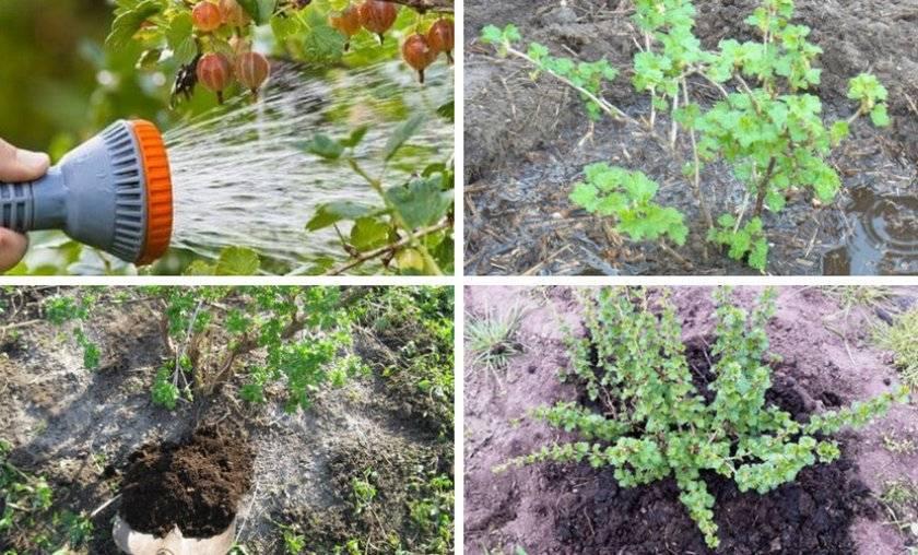 Джункус или ситник посадка и уход в домашних условиях выращивание из семян фото видов