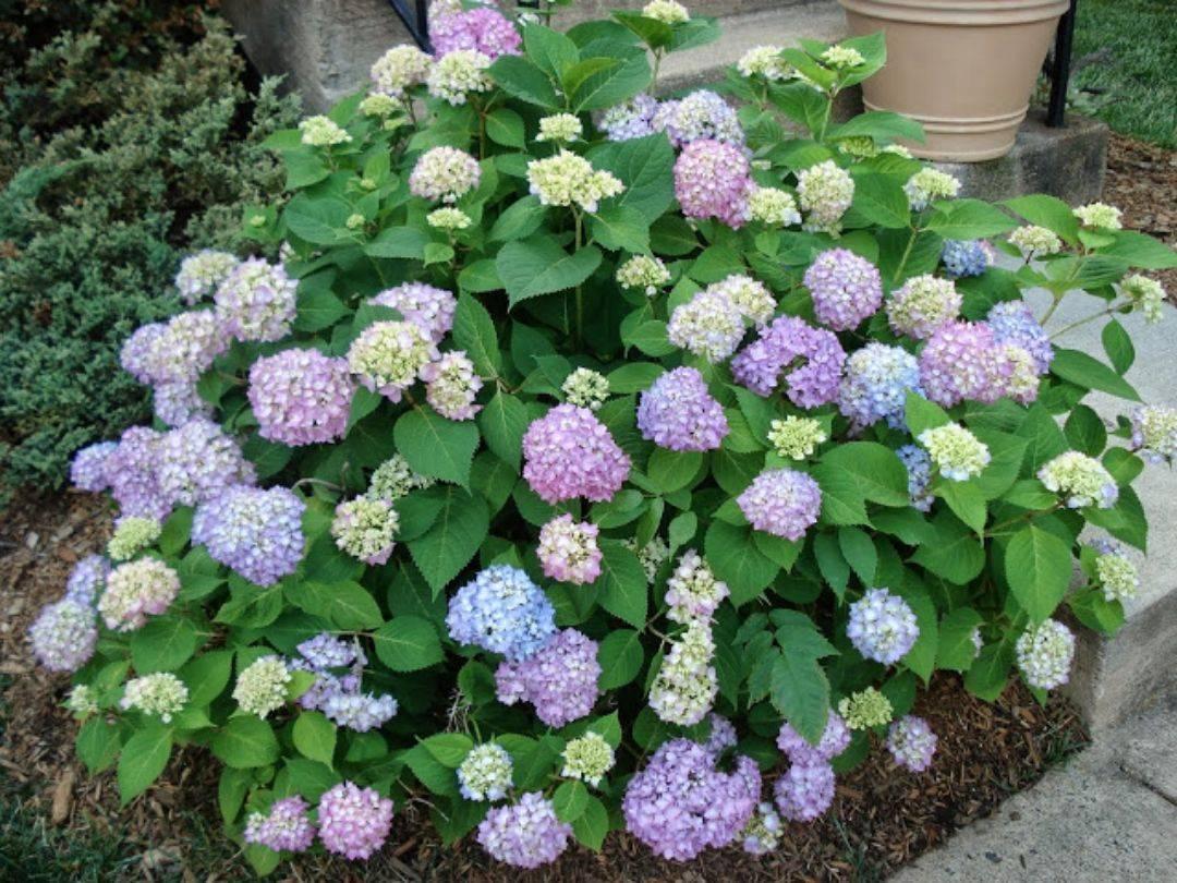Гортензия вечное лето — описание сорта, посадка и уход