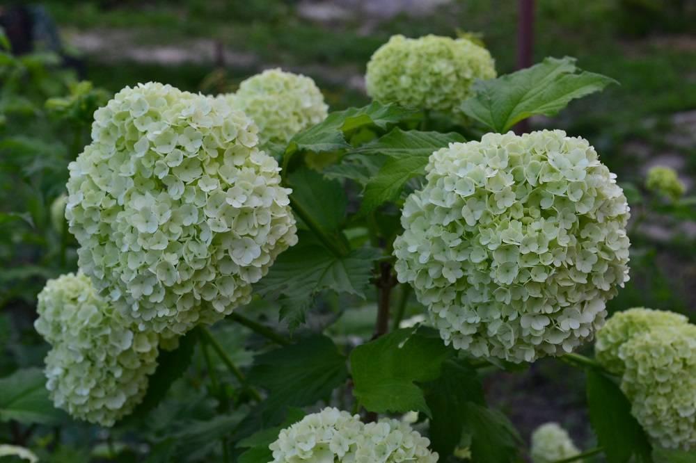 Калина «бульденеж»: описание, выращивание, примеры в ландшафтном дизайне