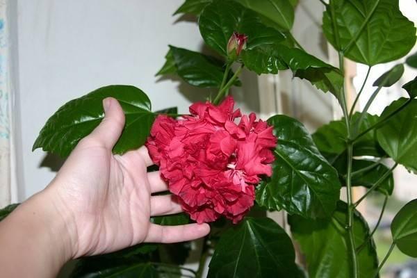 Стойкая «китайская роза»: гибискус сирийский в открытом грунте