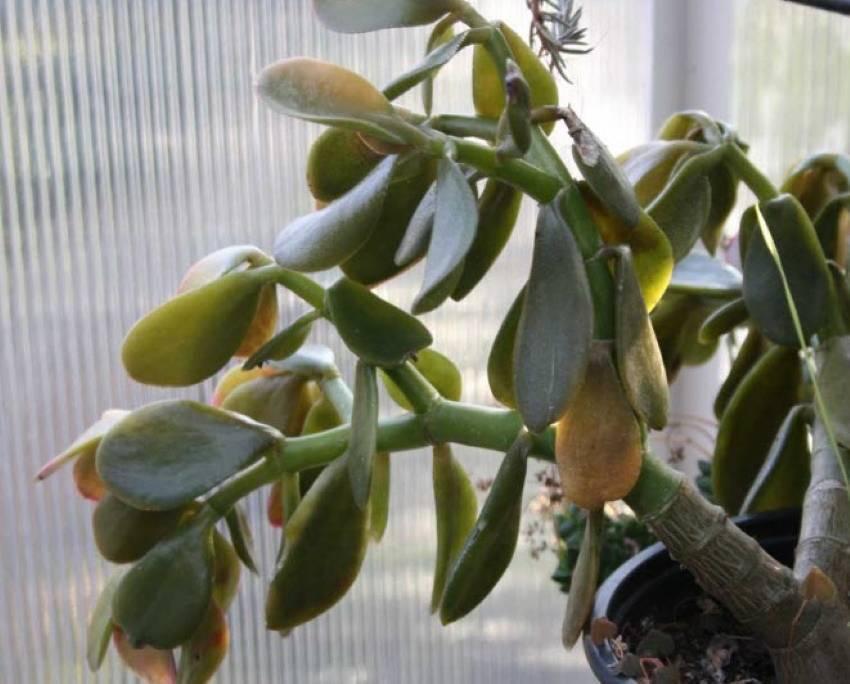 Денежное дерево вянет и опадают листья, болезни и вредители толстянки с фото