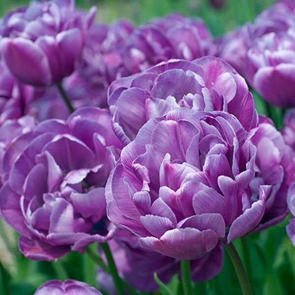 Тюльпан карликовый (23 фото): как выглядят низкорослые тюльпаны? описание популярных сортов