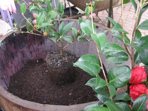 Камелия - уход и выращивание в саду, посадка вьющейся камелии садовой, фото, видео