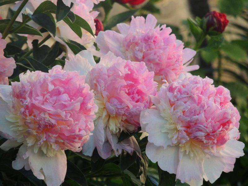 Пион месье жюль эли (paeonia monsieur jules elie) – как вырастить и ухаживать