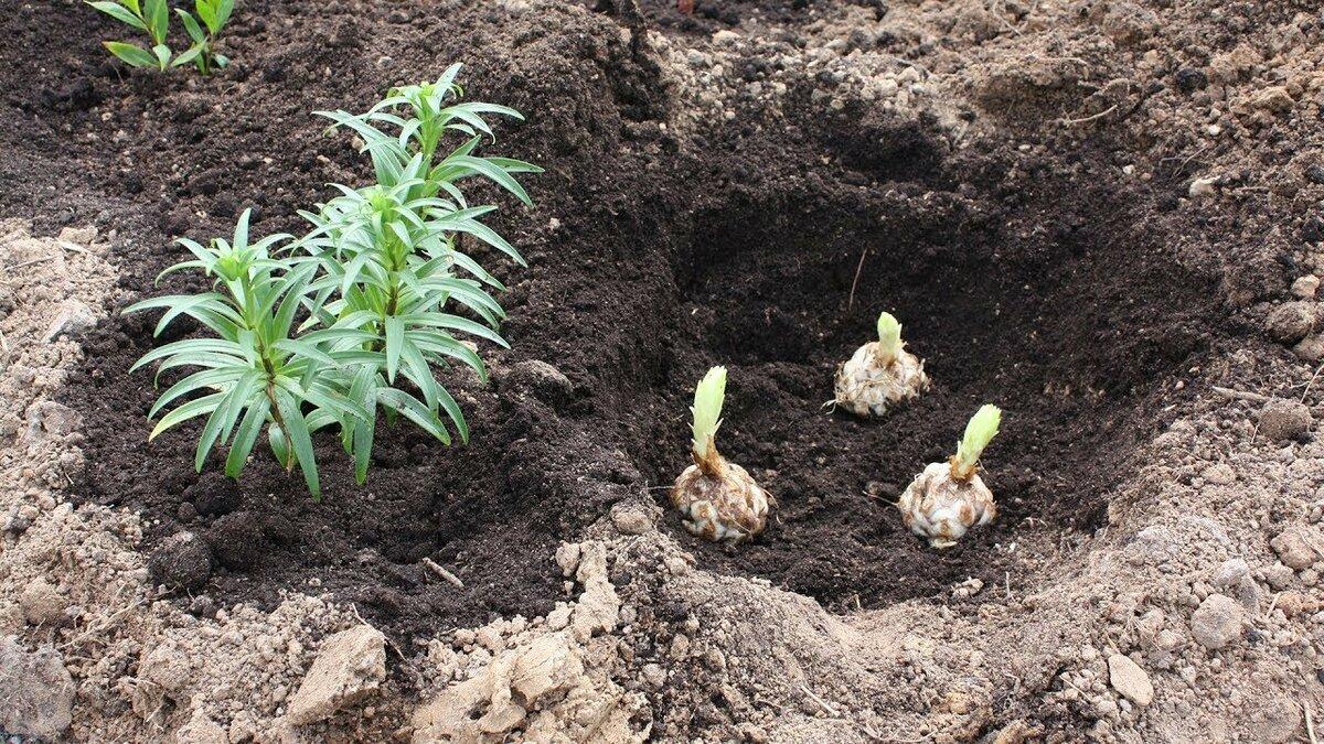 Мискантус: виды и сорта, условия выращивания