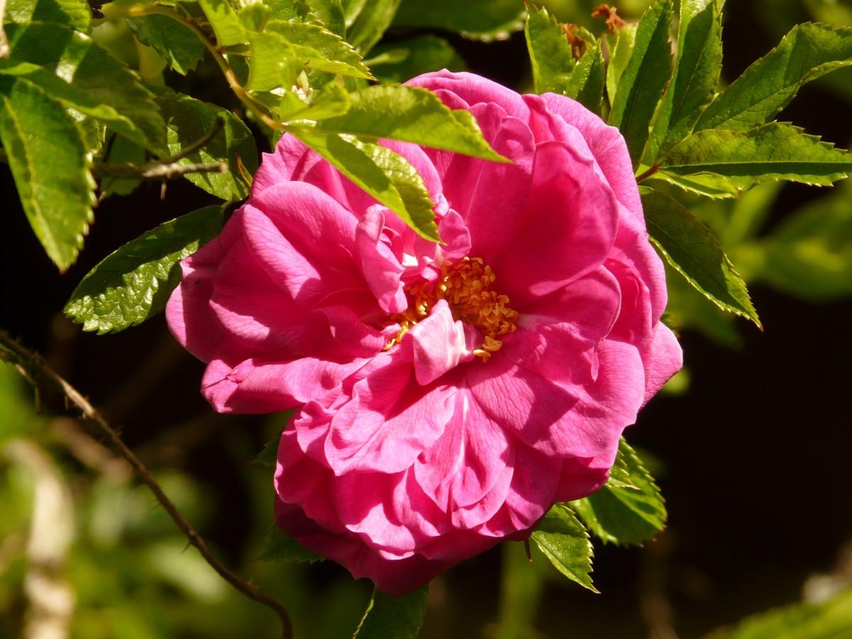 Дикая роза (шиповник) — выращивание в саду