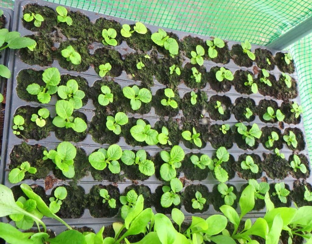 Этапы выращивания примулы из семян в домашних условиях: посев, стратификация