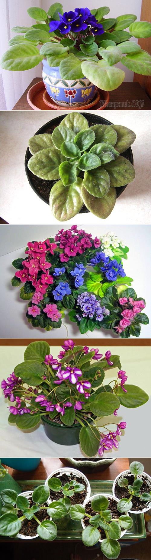 Узнайте, как выращивать фиалку в домашних условиях