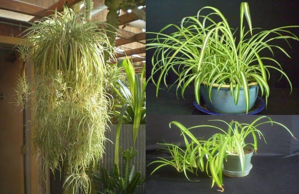Хлорофитум - очень полезное и несложное в уходе комнатное растение | faterra.com