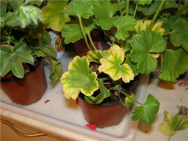 У герани желтеют листья: что делать, если края листьев сохнут? чем полить герань, если листья обесцветились и закручиваются? по каким причинам это происходит?