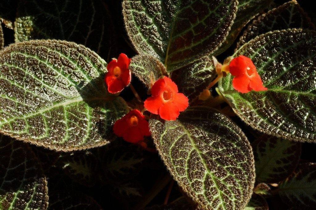 Эписция (episcia) – уход, фото, виды