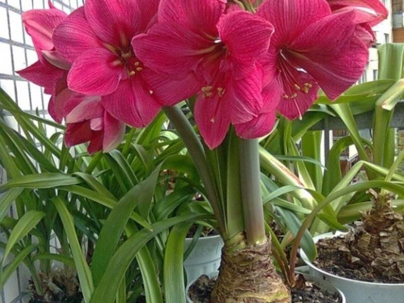 О гиппеаструмах, уходе в домашних условиях чтобы зацвел и после цветения