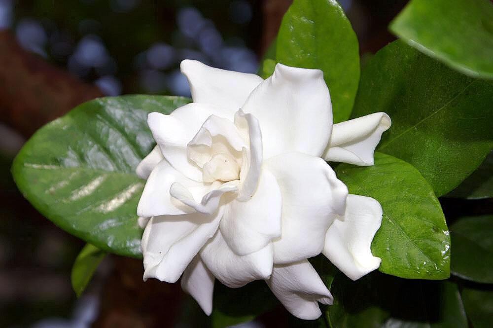 Гардения gardenia - описание и уход в домашних условиях