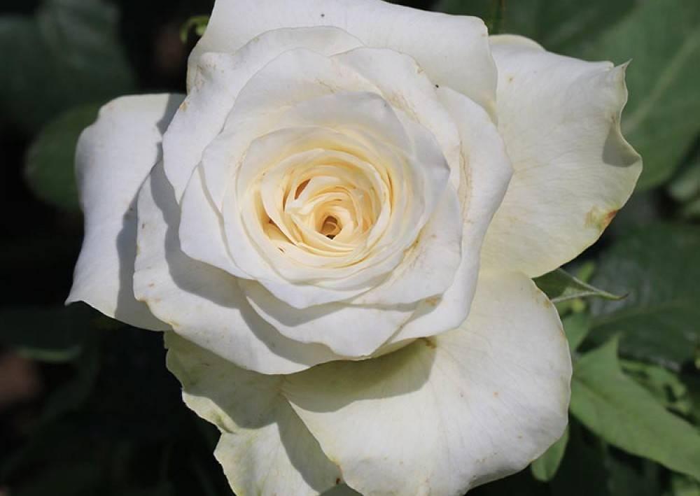 Роза Анастасия (Anastasia)