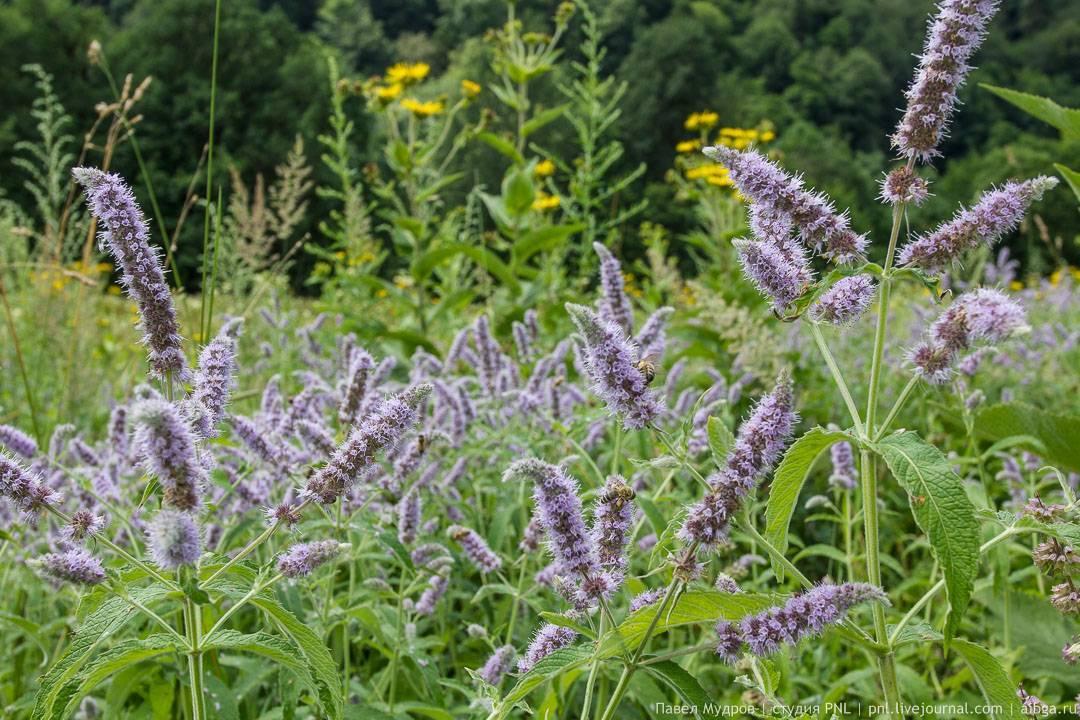 Мята: виды и сорта