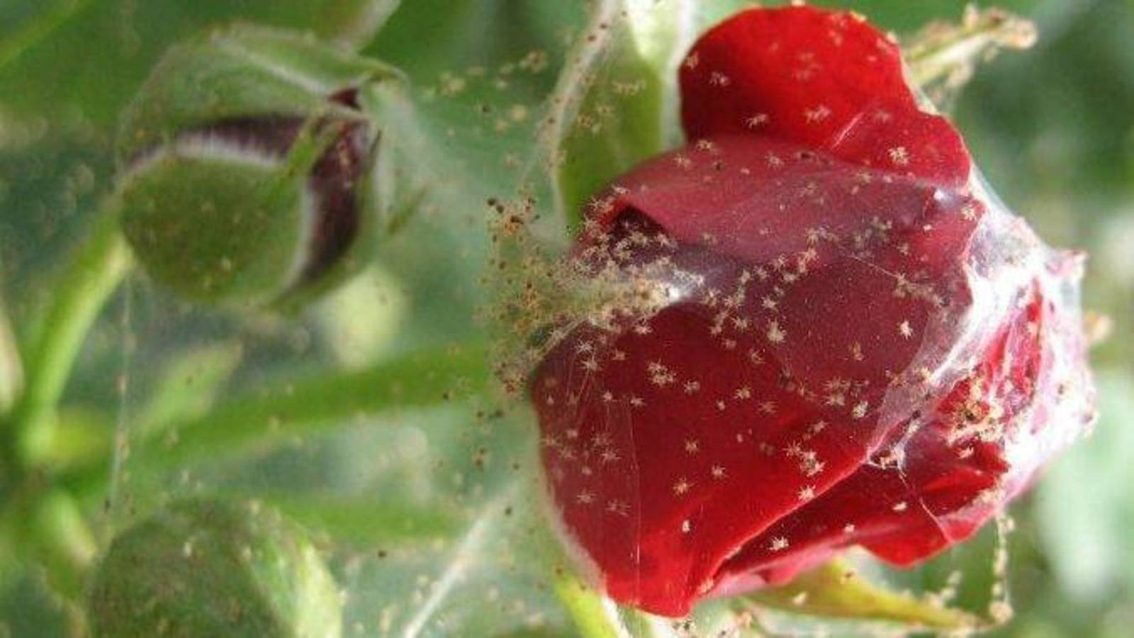 Как бороться с паутинным клещом на розе?