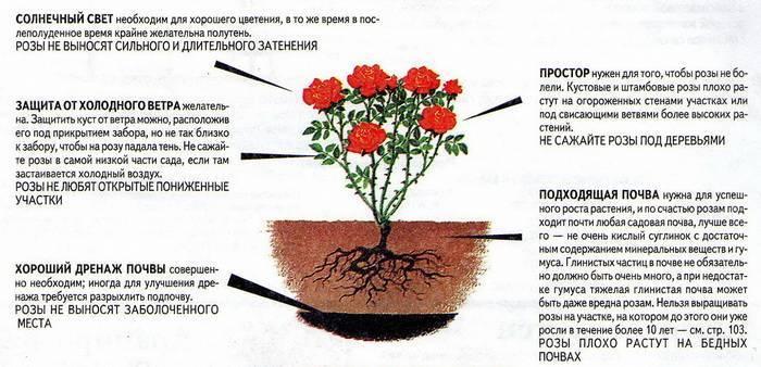 Розы, цветущие все лето: описание лучших сортов, фото, видео