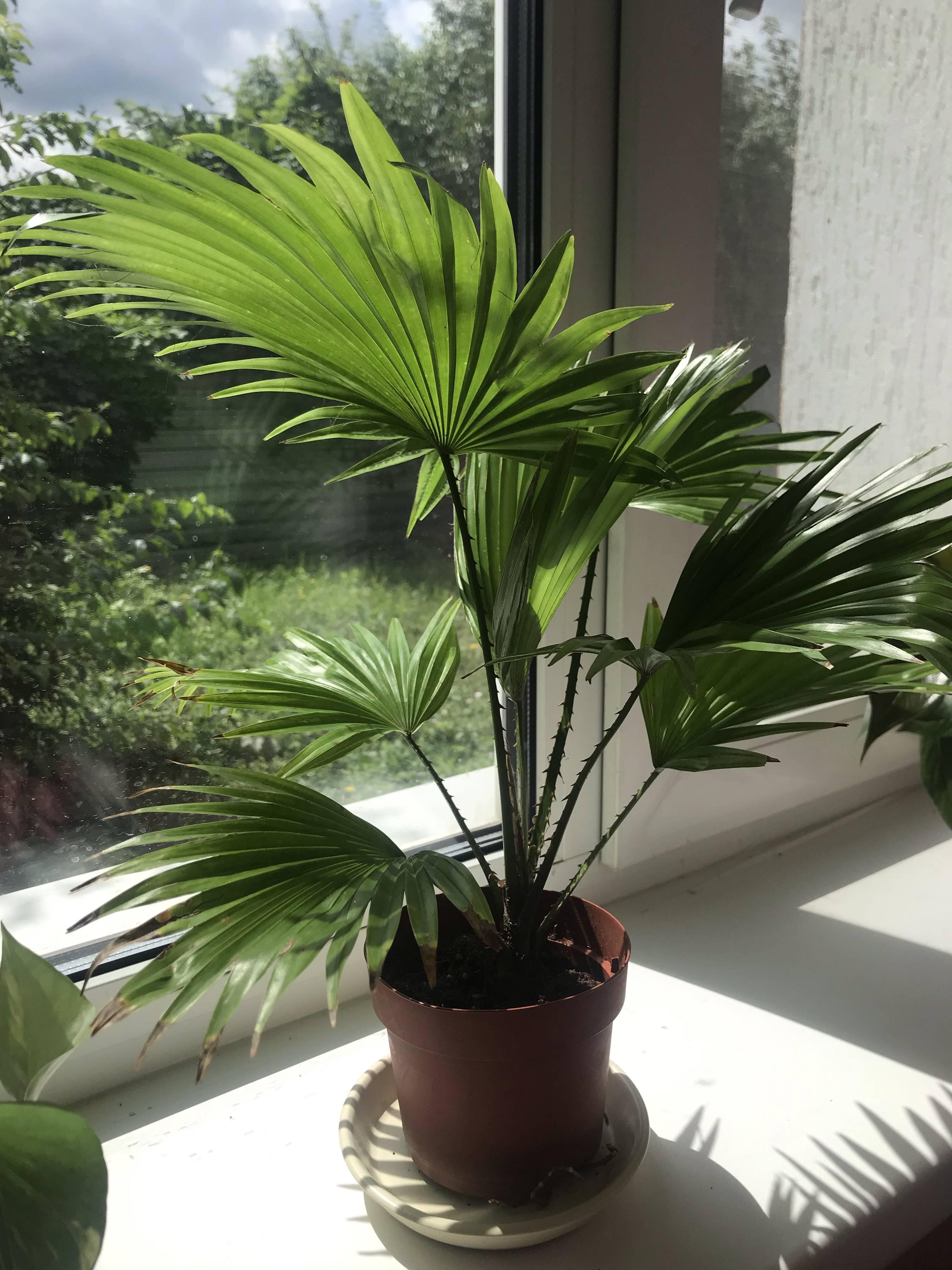 Пальма ливистона: уход в домашних условиях. советы для начинающих