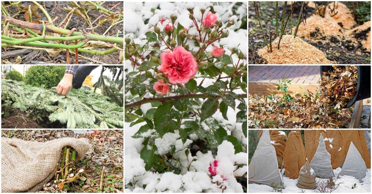 Как и чем укрыть розы на зиму в разных регионах